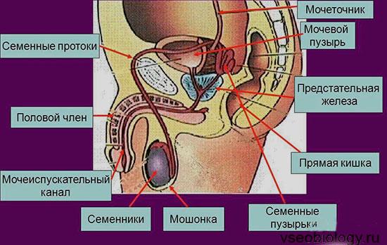 pokazivaet-stroenie-polovih-organov